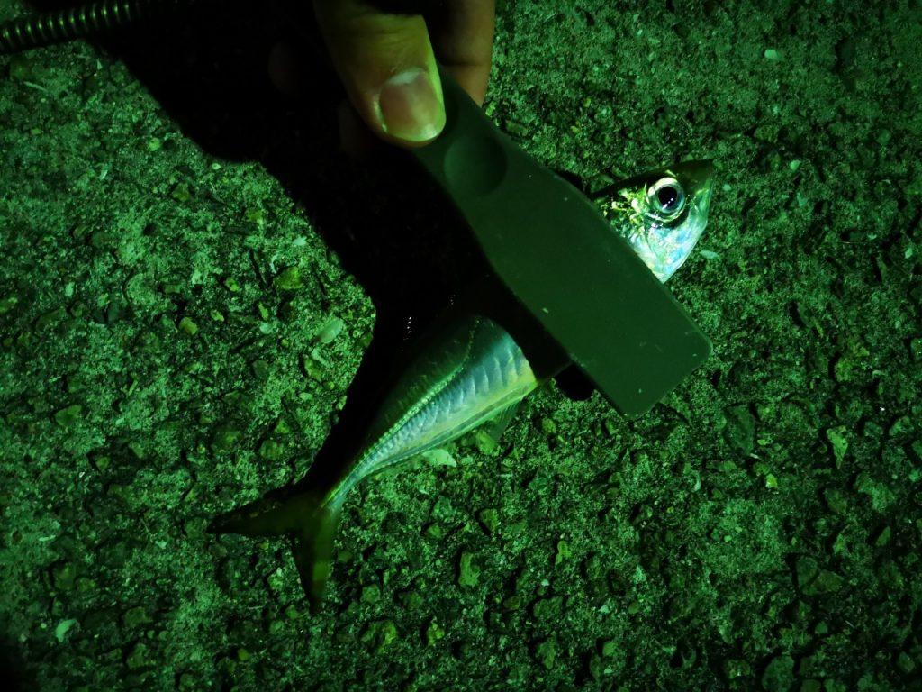 アミアミ1.5インチのトゥイッチで釣ったアジ13cm(2019.4)