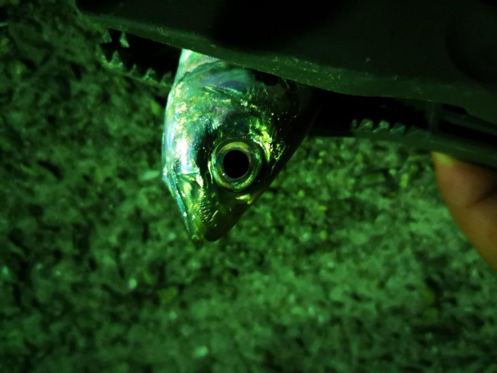 アミアミ1.5インチのトゥイッチで釣ったアジ15cm丸呑み(2019.4)