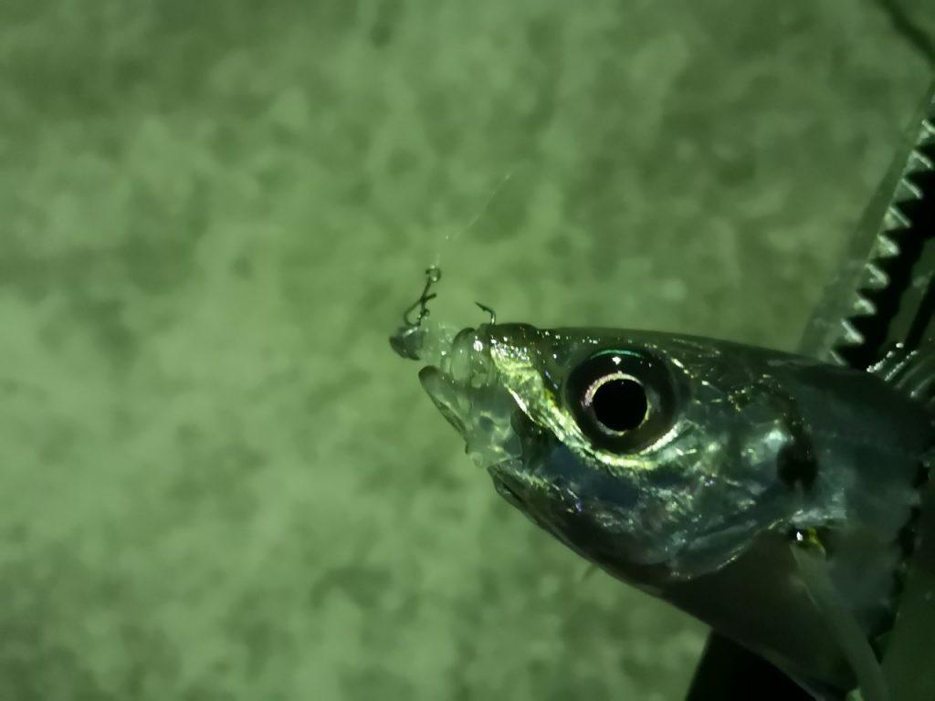アミアミ1.5インチのトゥイッチで釣ったアジ18cm(2019.4)