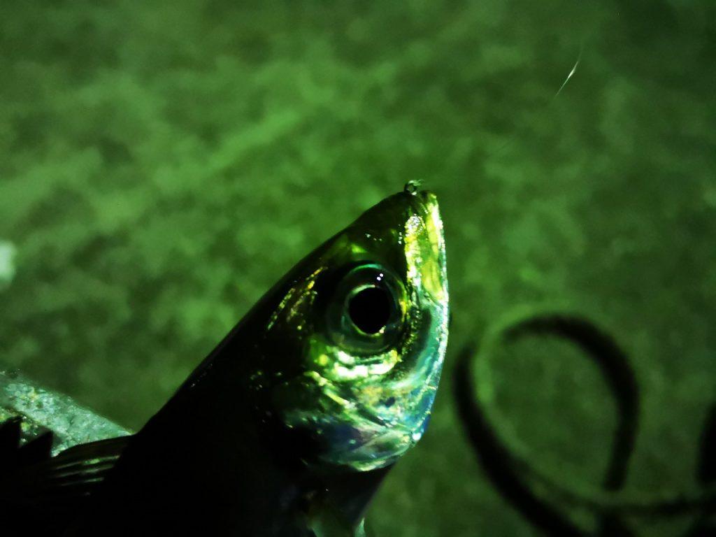 アミアミ1.5インチのトゥイッチで釣ったアジ18cm丸呑み(2019.4)