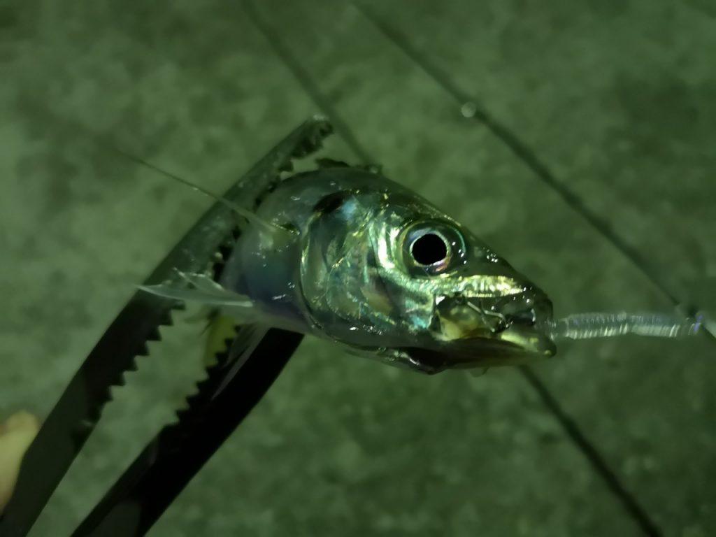 ペケペケロング3インチノレソレネオンのトゥイッチで釣ったアジ18cm(2019.4)
