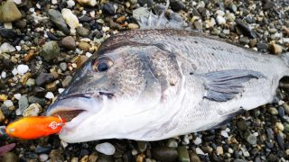 クロナッツ67で釣ったチヌ44cm(2019.8)