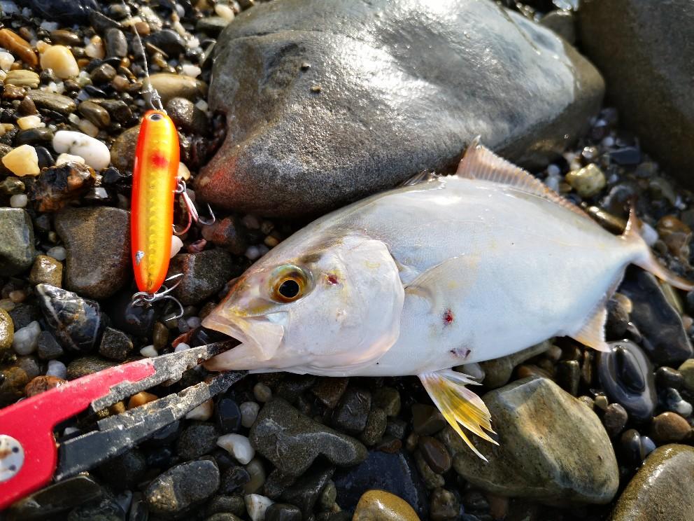 クロナッツ67で釣ったシオ20cm(2019.8)
