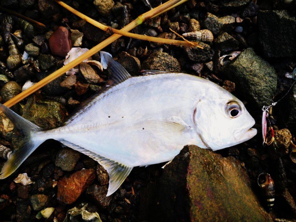 スロープにてジャコイチで釣ったメッキ15cm(2019.10)