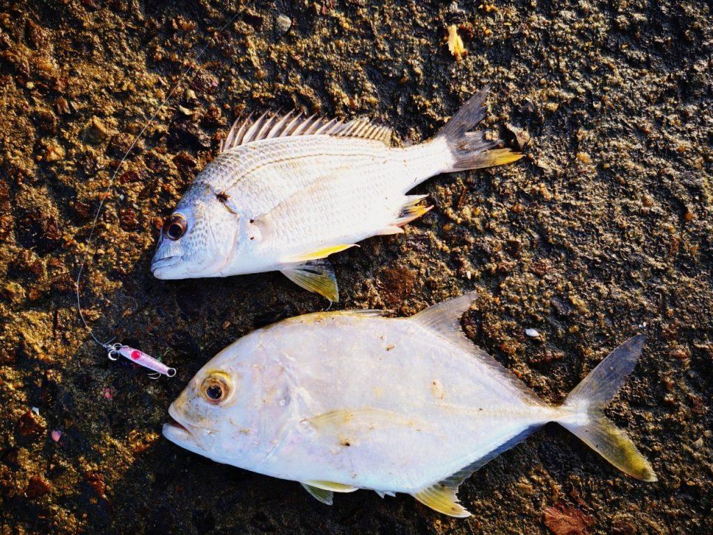 スロープにてジャコイチで釣ったキビレ12cmとメッキ15cm(2019.10)