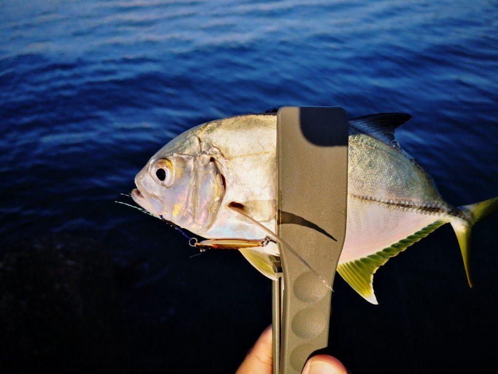 テトラジグ5gで釣ったメッキ20cmアップ(2019.10)