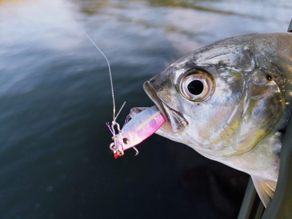 ジグパラマイクロ7gで釣ったメッキ20cmアップ(2019.10)