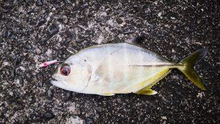 漁港の係留船の影から釣ったメッキ15cm以下(2019.10)