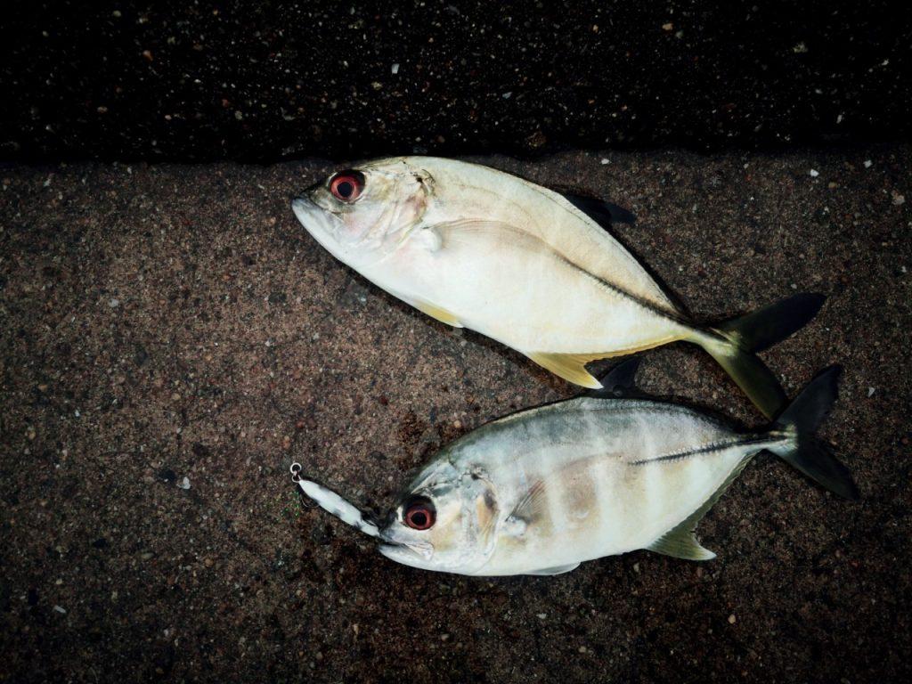 チビメタタイプ2ゼブラグロー5gで釣ったメッキ(2019.10)