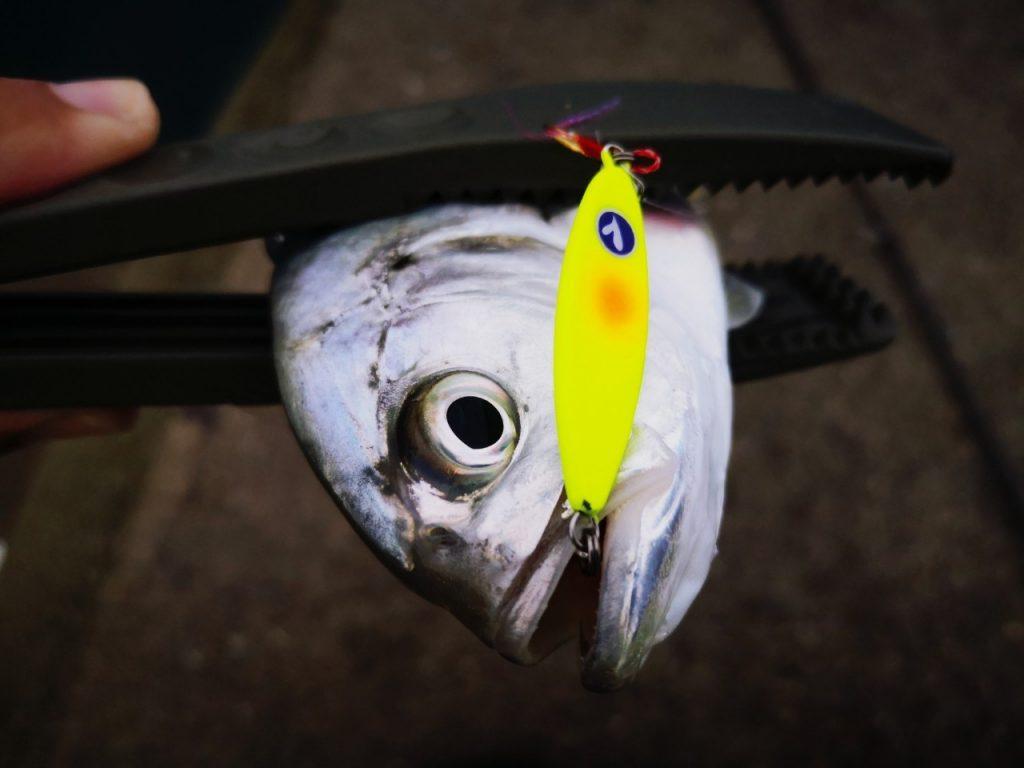 シーライドミニ9gチャートで釣ったメッキ(2019.10)