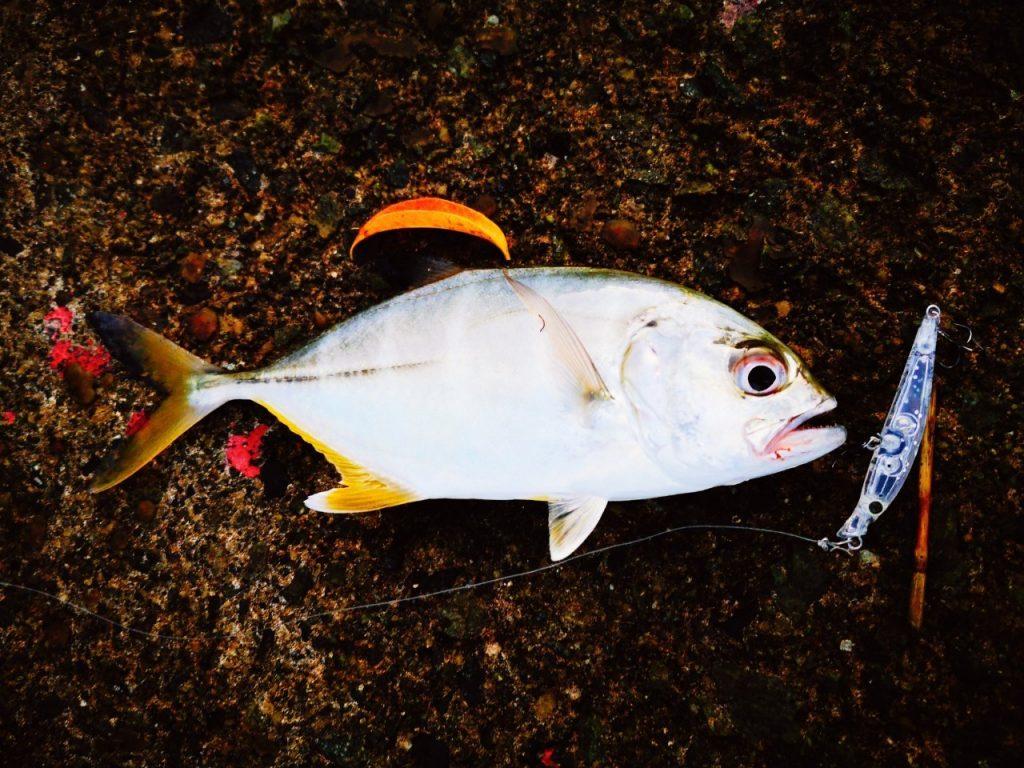10cm-20cmクラスのメッキ4枚釣った日にシャローマジック45で釣ったメッキ(2019.10)