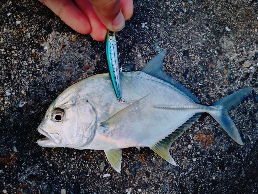 濁り潮の夕マヅメにメッキ15枚釣った日にシャローマジック60で釣ったメッキ(2019.10)