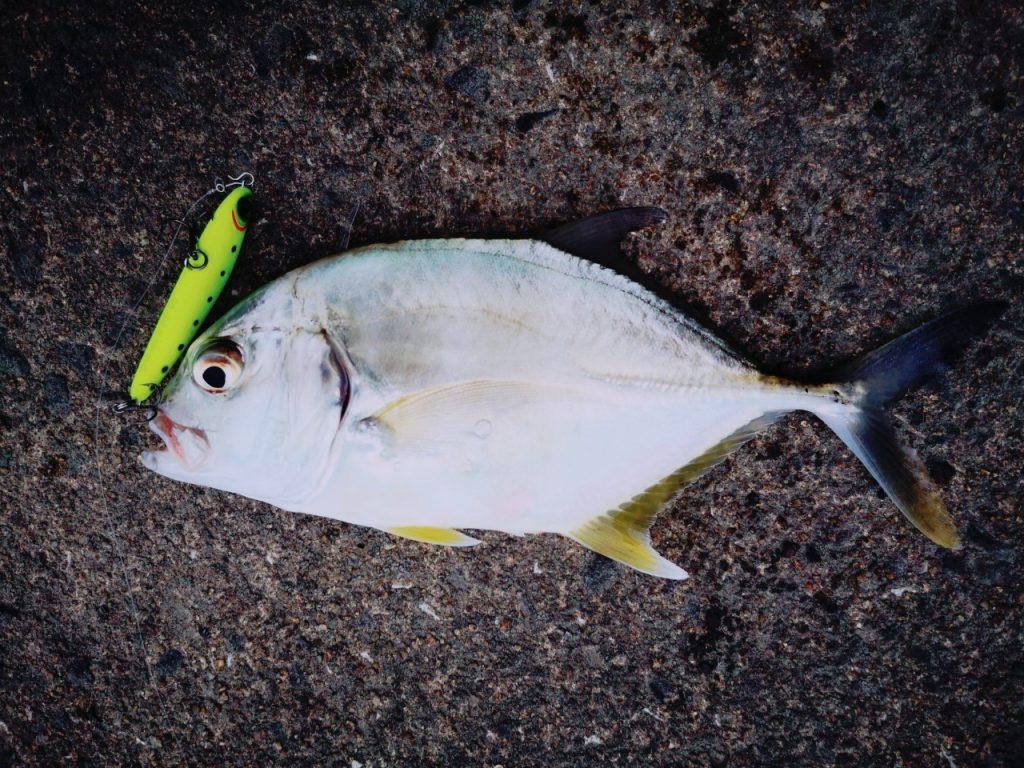 濁り潮の夕マヅメにメッキ15枚釣った日にレイジーソリッドで釣ったメッキ(2019.10)