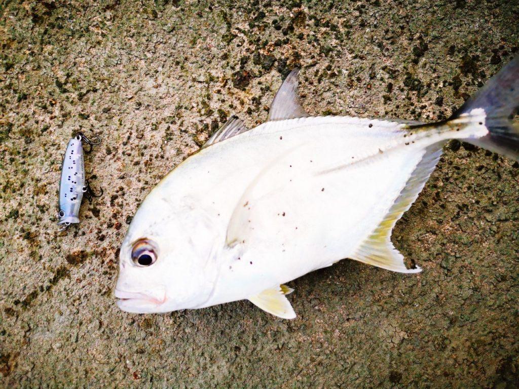濁り潮の夕マヅメにメッキ15枚釣った日にペンシルポッパーで釣ったメッキ(2019.10)