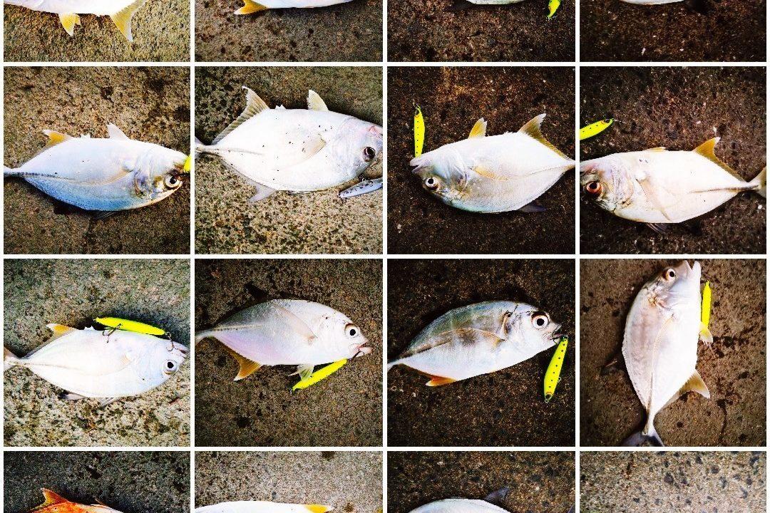 濁り潮の夕マヅメに釣ったメッキ15枚とシーバス1枚(2019.10)
