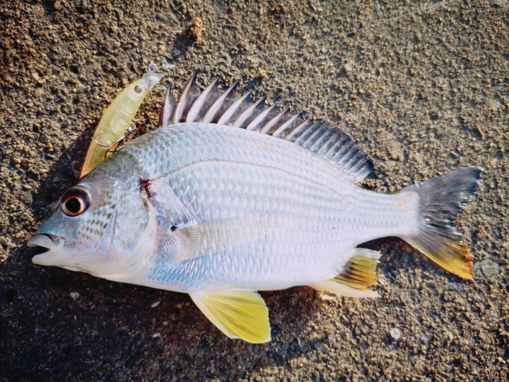 夕マヅメにメッキ9枚釣った日にシャローマジック50で釣ったキビレ15cm(2019.10)