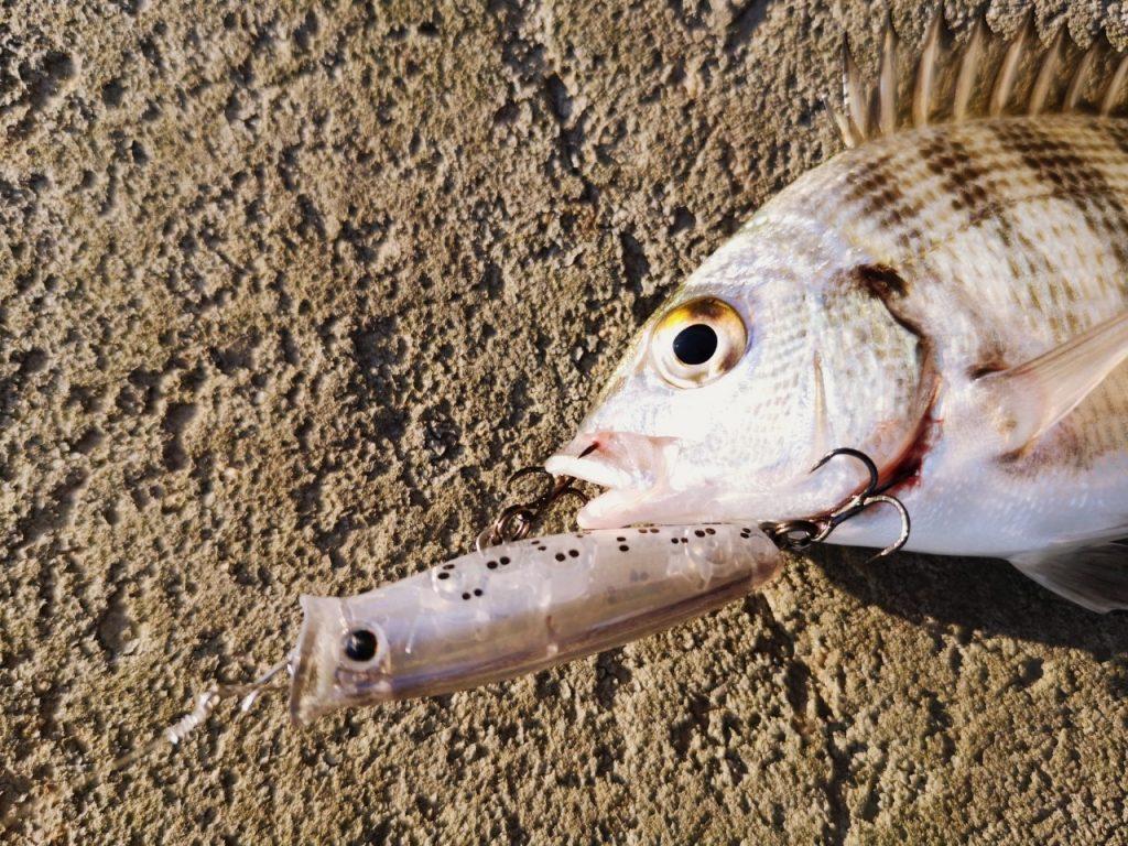 夕マヅメにメッキ9枚釣った日にペンシルポッパーで釣ったチヌ12cm(2019.10)