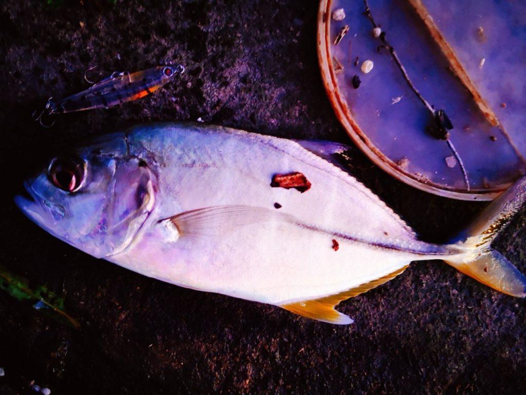 夕マヅメにメッキ9枚釣った日にレイジーソリッドで釣ったメッキ(2019.10)