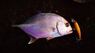 夕マヅメにメッキ9枚釣った日にエバミノーで釣ったメッキ(2019.10)