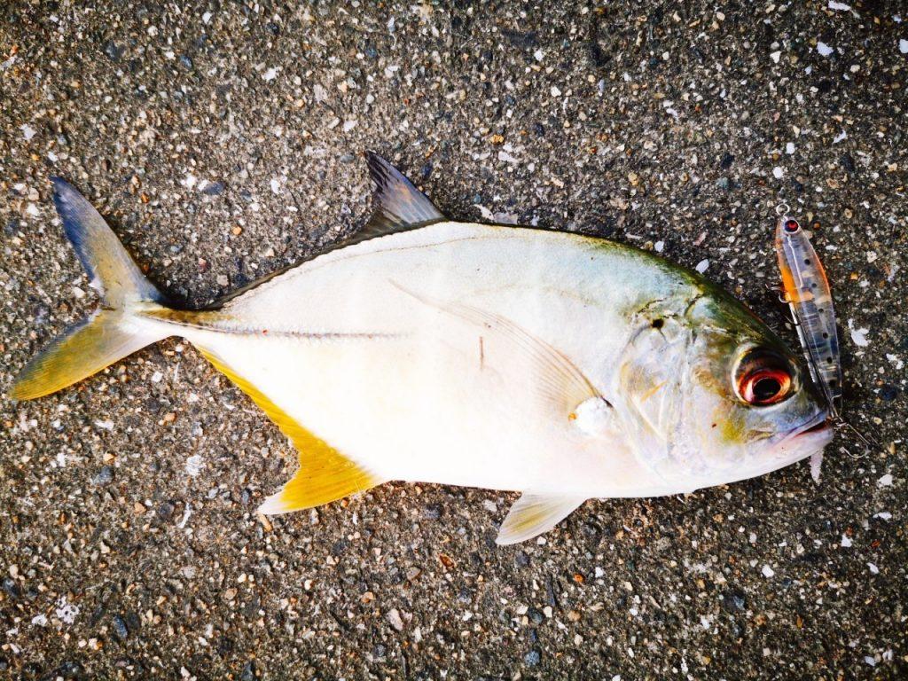 干潮周りの朝マヅメにメッキ5枚釣った日のレイジーソリッドシラスとメッキ(2019.10)