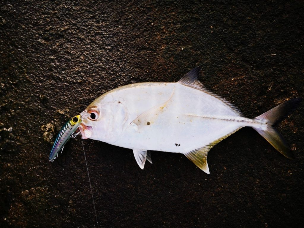 シャローマジック60で釣ったメッキ(2019.10)
