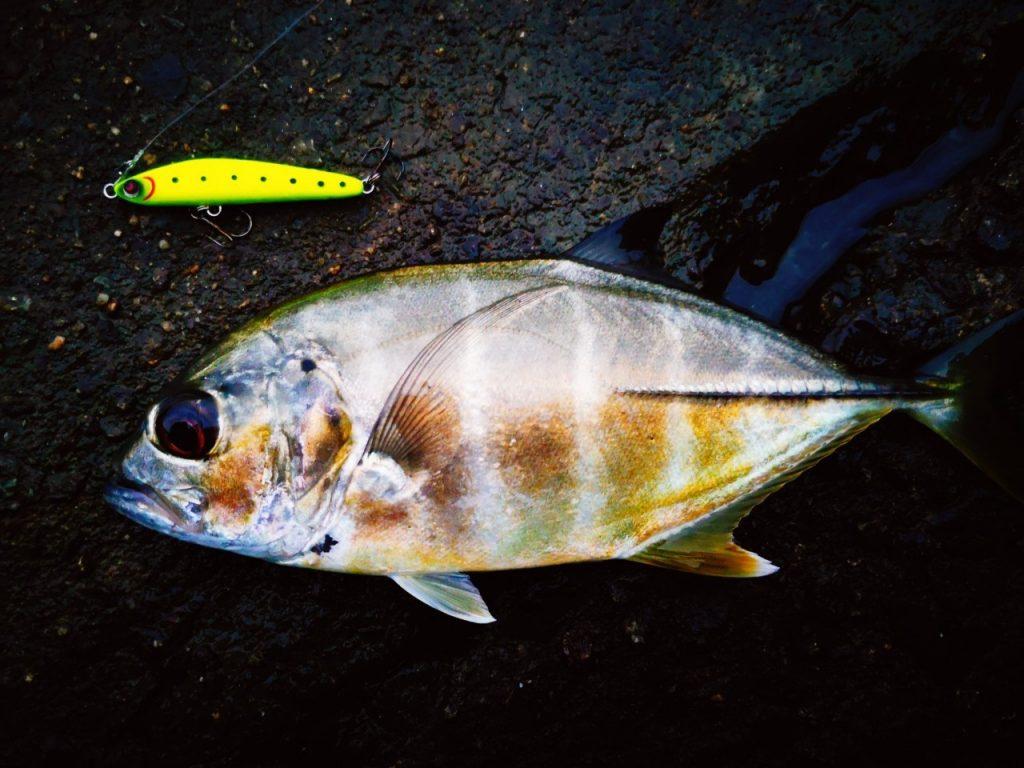 雨上がりの朝マヅメにメッキ10枚釣った時のメッキとレイジーソリッドトップバッター(2019.10)
