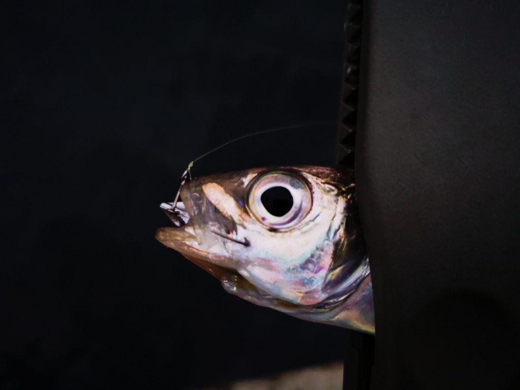 15分で12枚アジを釣った日の深いバイト13cmアジ(2019.11)