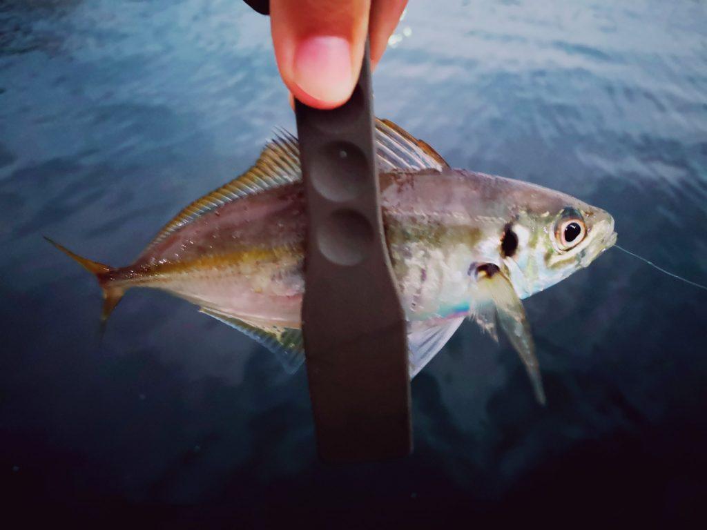 15分で12枚アジを釣った日の深いバイトの21cmアジ(2019.11)
