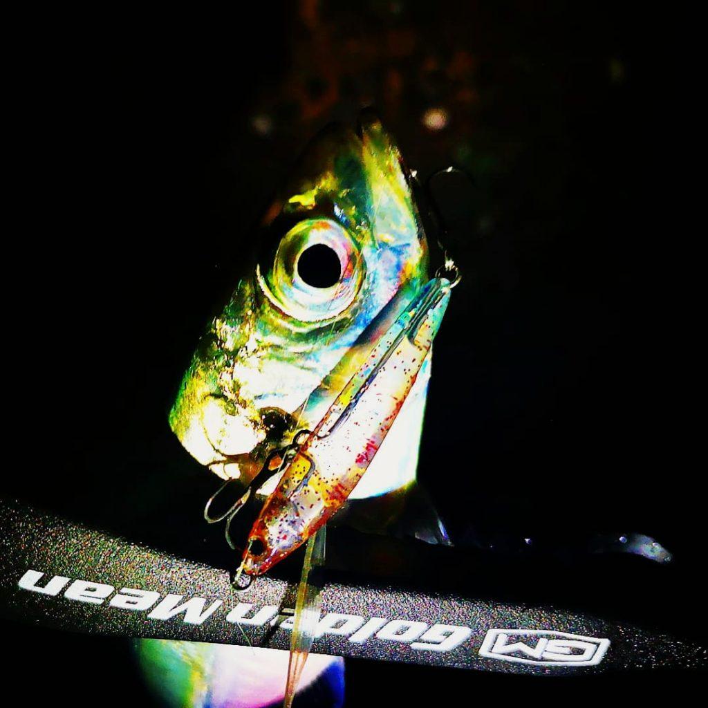 レイジーソリッドで釣ったアジ18cm(2019.12)