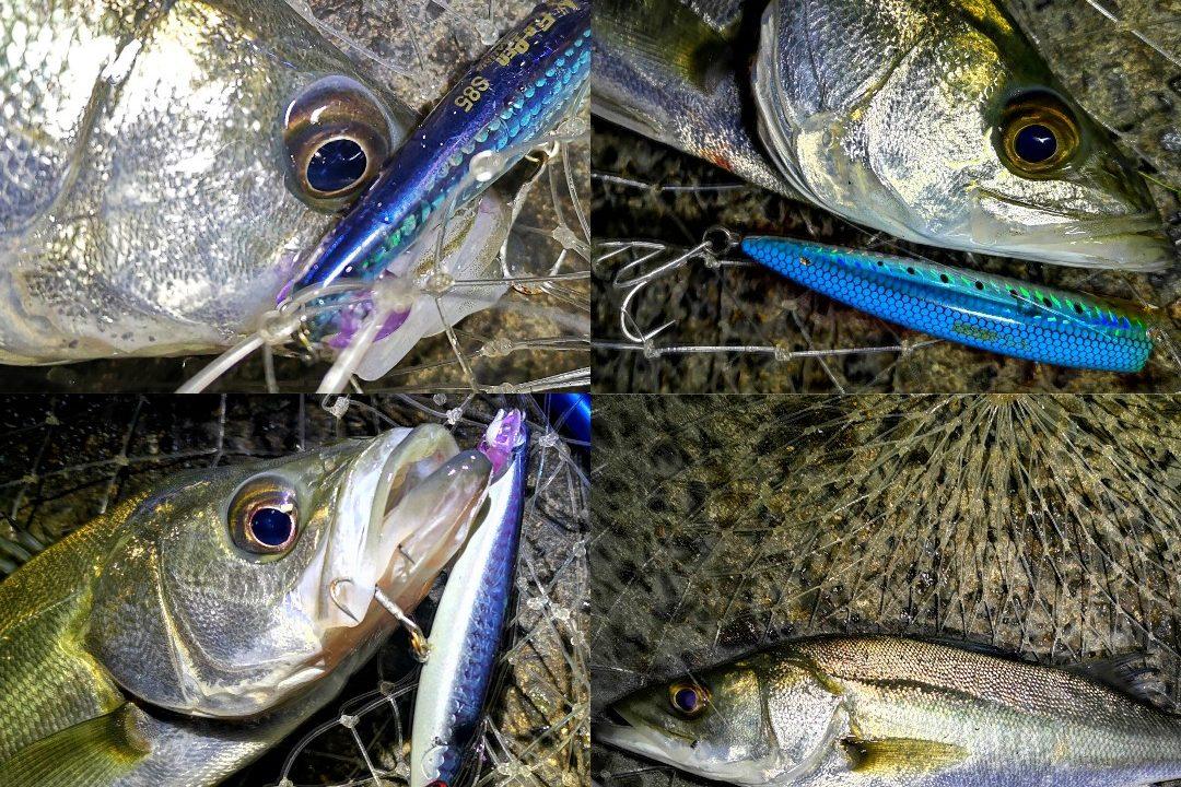 シーバス36cmを4本釣った集合写真(2020.1)