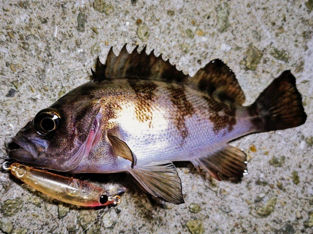 シュガーミノー40Sで釣ったメバル12.5cm(2020.2)