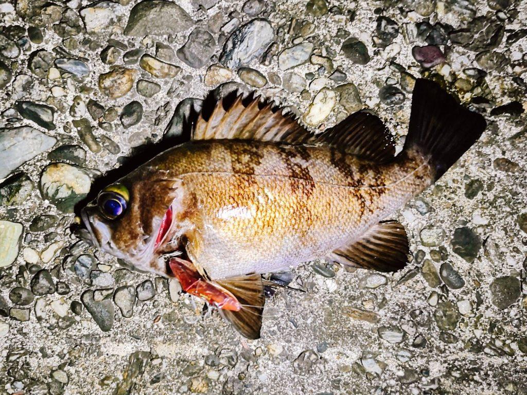 朝マヅメにユーリで釣ったメバル19cm(2020.3)