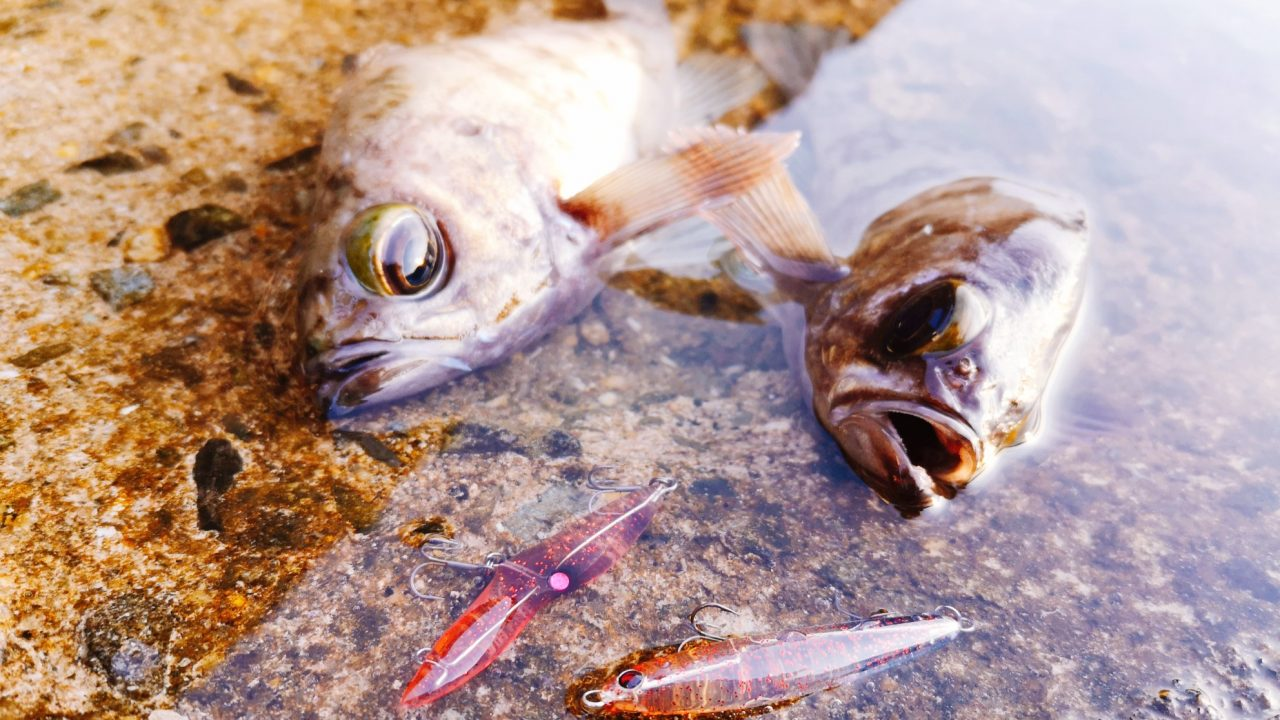 朝マヅメにユーリとレイジーソリッドで釣ったメバル19cm,21cm(2020.3)