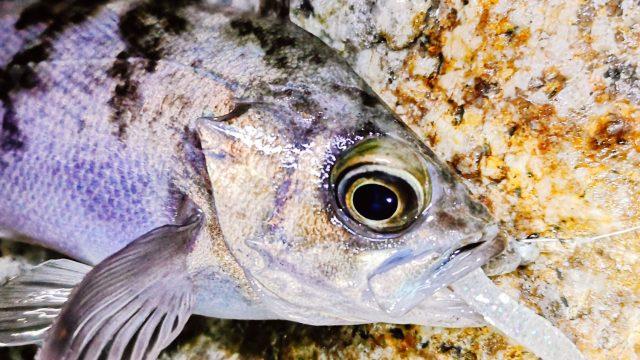 フロートリグのメバルつくしで釣ったメバル17cm(2020.2)
