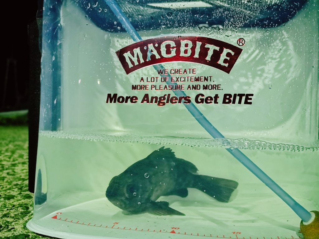 フロートリグのメバルつくしで釣ったメバル17cmとマグバイトのライブウェル(2020.2)