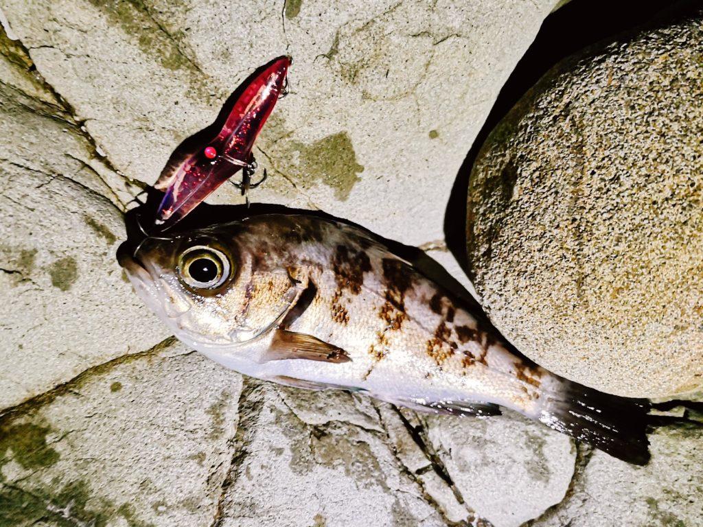朝マヅメにゴロタでユーリで釣ったメバル12cm(2020.3)
