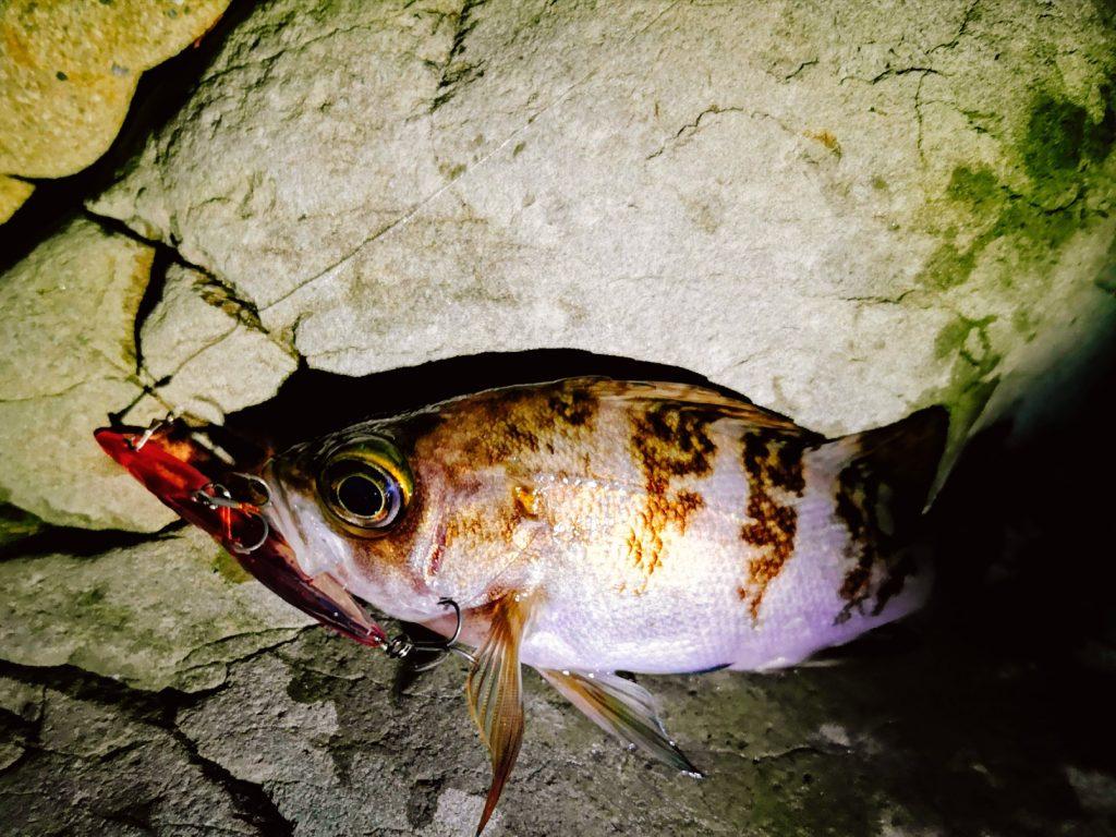 朝マヅメにゴロタでユーリで釣ったメバル14cm(2020.3)