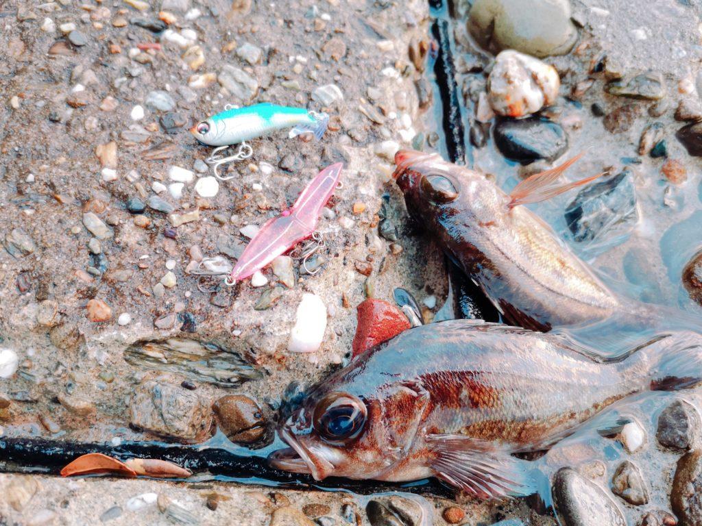朝マヅメにゴロタでユーリで釣ったメバル12cm,14cm(2020.3)