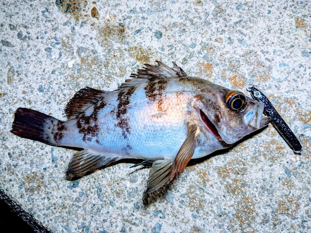 ピットスティック47で釣ったメバル17cm(2020.4)