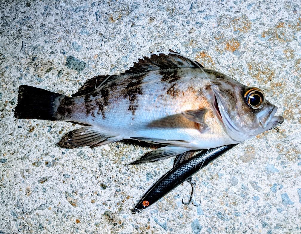 エライザーブラックで釣ったメバル16cm(2020.4)