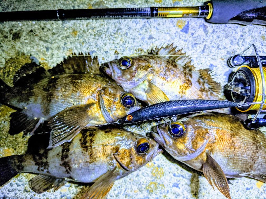 エライザーとブラックカラープラグで釣ったメバル16-18cm(2020.4)