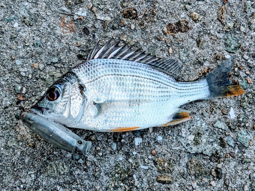 ペンシルポッパーで釣ったキビレ