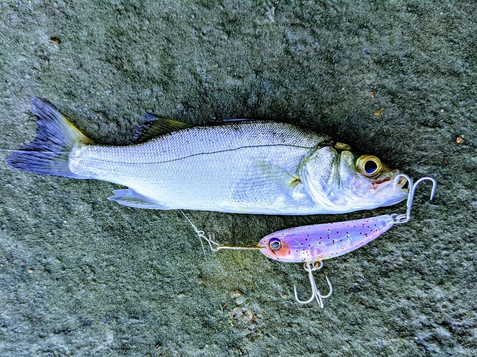 ライザーベイト004で釣ったセイゴ
