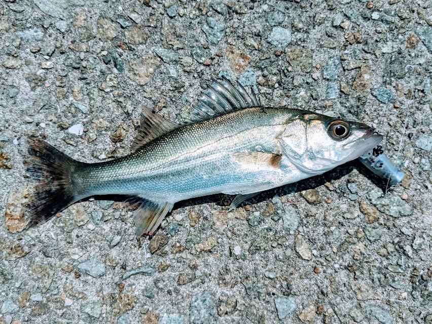 ペンシルポッパーで釣ったセイゴ