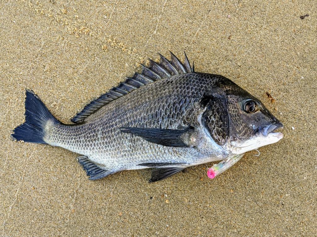 r.a.ポップで釣ったチヌ42cm(2020.9)