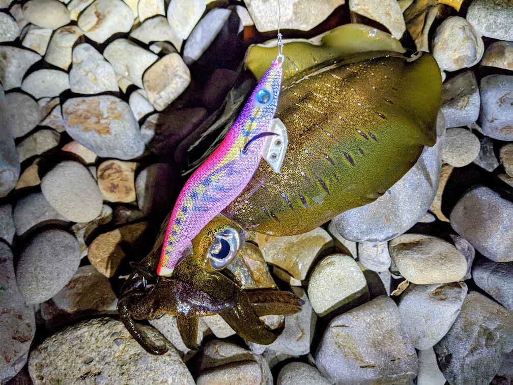 エギ王Kシャロー3.5号ムラムラチェリーで釣ったアオリイカ17cm450g(2020.10)