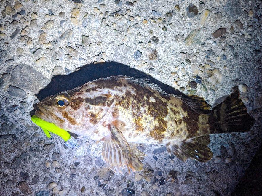 ガルプベビーサーディンで釣ったタケノコメバル2020.12)