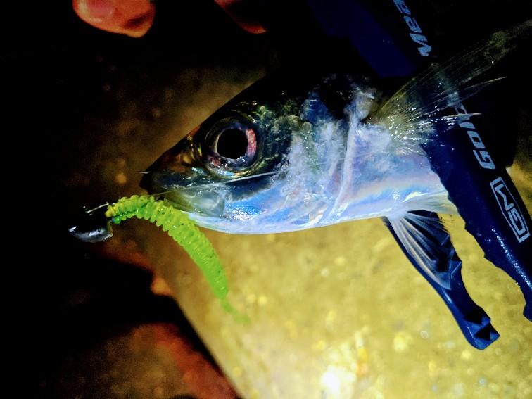 アジリンガーProで釣ったアジ(2020.12)